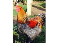 Buff Orpington cockerel