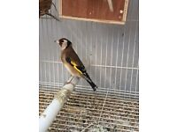Gold finch pair