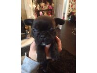 French bulldog males available to reserve