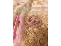 Snow corn snake for sale