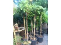 Price Reduced. Spectacular and Different Half Standard WISTERIA Trees in Purple and Blue colours