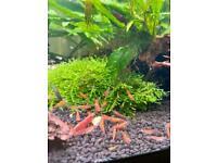 Red Cherry Shrimp Tropical Aquarium