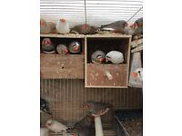 Beautiful zebra Finches