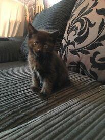 2 black Kittens for sale