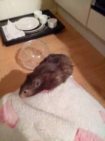 Male hamster Beegu