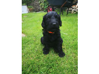 Last remaining Labradoodle/Goldendoodle puppy