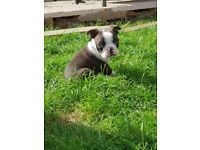 Boston terrier puppies, ready now, 2 left