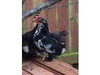 Pekin Bantam Cockerel Pullet Black and White Mottled Free To A Good Home