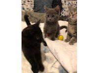 Adorable Siberian cross kittens ready now