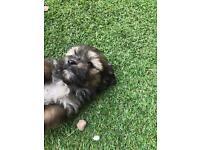 4 pomchi cross puppy's