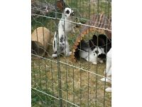 4 Male and 1 Female Rabbit for sale