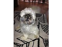 2year old shih tzu for sale