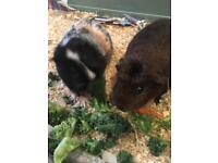 Two guinea pigs Male (neutered) and female