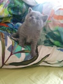 Blue Russian Kittens
