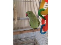 Pretty, green African ring necklace parrot for sale- includes cage and accessories.