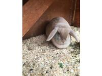 Beautiful friendly lop rabbit and cage