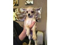 Male chihuahua long haired.