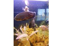 6 oscar fish 2 are albino 4 are black