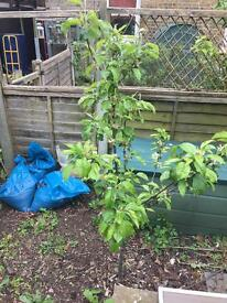 Healthy 2-4 year old fruit trees, apple, pear, cherry