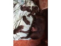 Beatiful litter of Chocolate Labrador KC Registered pedigree puppies