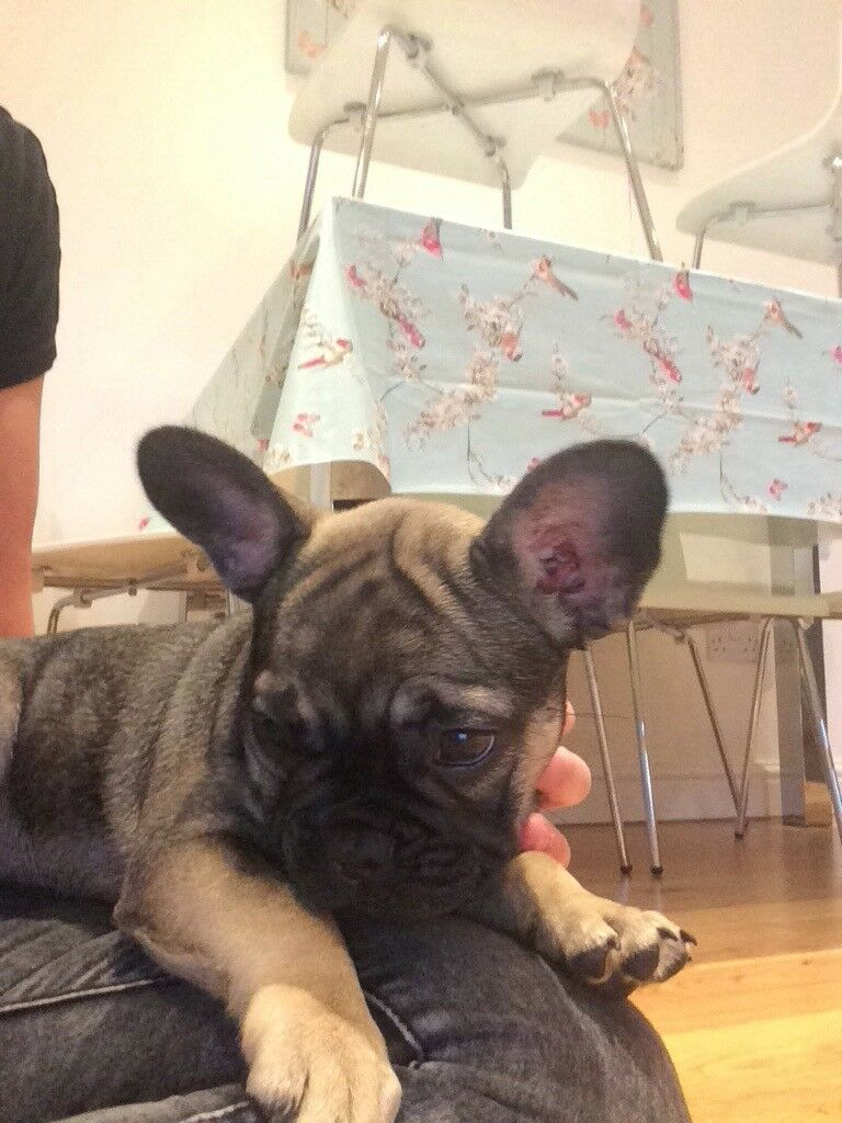 French bulldog bitch, microchipped, vaccinated, wormed and flead all upto date