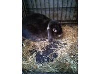 Rabbit black buck