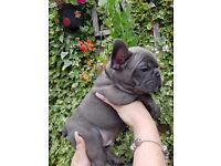 Quality blue french bulldogs