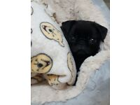 Pug female 13 weeks