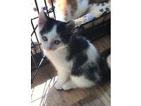 8 week old black and white female kitten