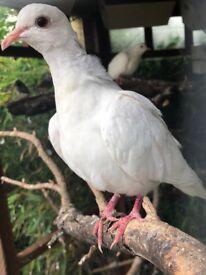 White Java Dove (Barbary Dove)