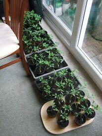 50p CHERRY TOMATO PLANTS