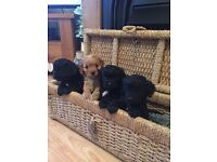 Cavapoo puppies - 3 Black boys