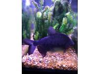 2 pacu fish