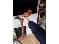 Adult Corn Snake 2.5-3ft