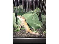 2 stunning baby leopard geckos
