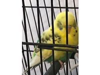 lovely tame baby budgie for sale with cage
