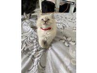 Full breed Ragdoll kitten for sale