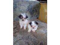 Maltese x chiuawoua puppy for sale