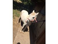 """""""Twinkle"""" A Lovely Natured 11.2 Welsh section A type pony for Sale"""
