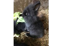 Lion head baby rabbits for sale