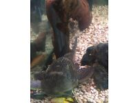 """Pleco 12"""" long much loved no problem at all with other fish, outgrown fish tank free to good home"""