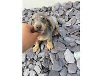 MALES blue and tan smooth hair dachshund