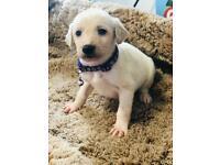 Greyhound /Suluki puppies