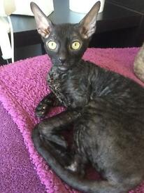 Cornish Rex female for sale