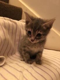 Bengal kittens (grey)