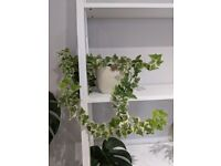 Hedera helix/English Ivy indoor plant with pot