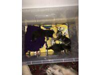 Ragdoll mix kittens for sale