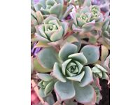 Succulent Plants - 3 types, various sizes and prices