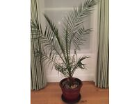 Indoor Palm - 7ft tall nurtured and grown from a baby