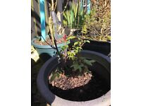 Two Rose plants, potted in quality John Irgnes nu.2 soil